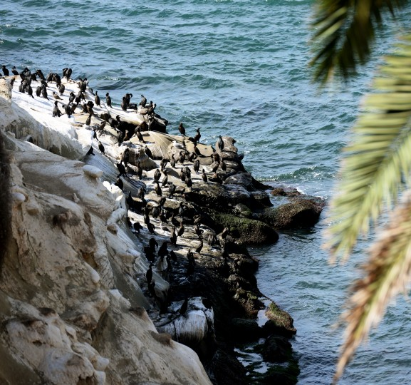 Hundred of birds rest on the side of the water on La Jolla, which is a stretch of land northwest of San Diego.