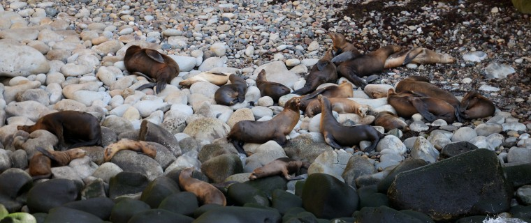 Also popular on the shores at La Jolla are colonies of sea lions, which congregated along the shores to rest in the sun, Sunday, Aug. 24.