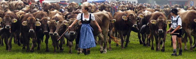 """Bavarian farmers escort cows during the traditional """"Almabtrieb"""" in Bad Hindelang, about 180km (110 miles) south of Munich September 11, 2014. At the end of the summer season, farmers move their herds down from the Alps to the valley into winter pastures. REUTERS/Michael Dalder"""