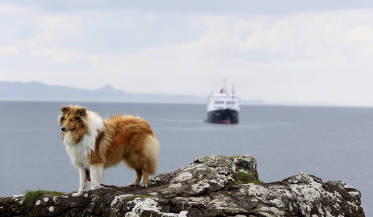 A collie dog is seen on the island of Eigg, Inner Hebrides, Scotland May 25, 2014. The Scottish island of Eigg has the first completely wind, water and sun-powered electricity grid in the world, according to the Isle of Eigg Heritage Trust. According to a local, between 85 and 95 percent of the energy consumed on the island comes from renewable resources. Scottish nationalists say that the best way to harness Scotland's renewable energy potential is to vote for independence on Sept 18, although an independent Scotland would also benefit from large oil reserves in the North Sea. Campaigners to keep Scotland in the United Kingdom argue that the growing renewables sector would suffer with independence, as the cost of new infrastructure would not be spread out across the whole of Britain. Picture taken May 25, 2014. REUTERS/Paul Hackett