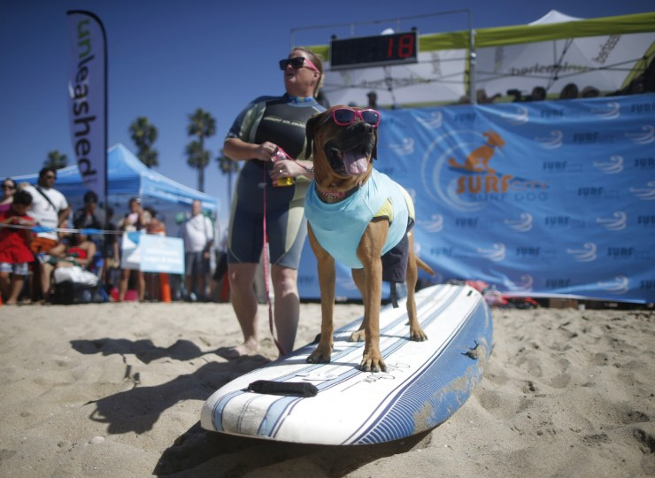 Roxy the Surfer Dog waits to surf at the 6th Annual Surf City surf dog contest in Huntington Beach, California September 28, 2014. (Lucy Nicholson/Reuters)
