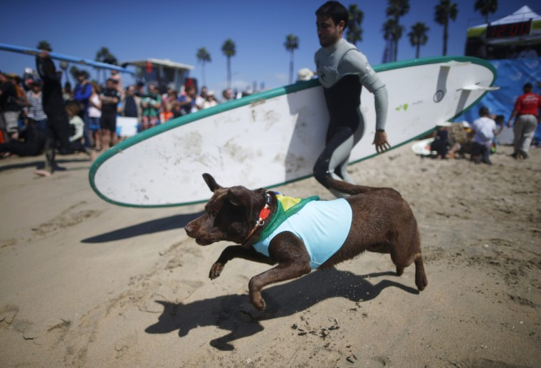 A dog runs down the beach to compete in the 6th Annual Surf City surf dog contest in Huntington Beach, California September 28, 2014. (Lucy Nicholson/Reuters)