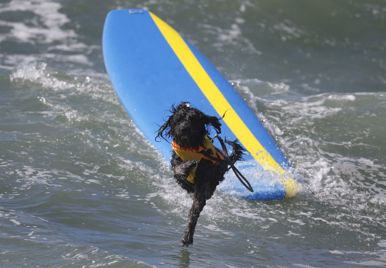 A dog wipes out at the 6th Annual Surf City surf dog contest in Huntington Beach, California September 28, 2014. (Lucy Nicholson/Reuters)