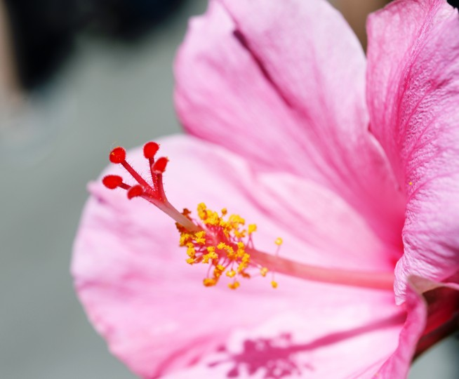 A pink hibiscus flower at the San Diego Zoo.