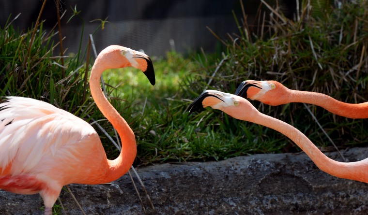 Three flamingos fight each other at the San Diego Zoo.
