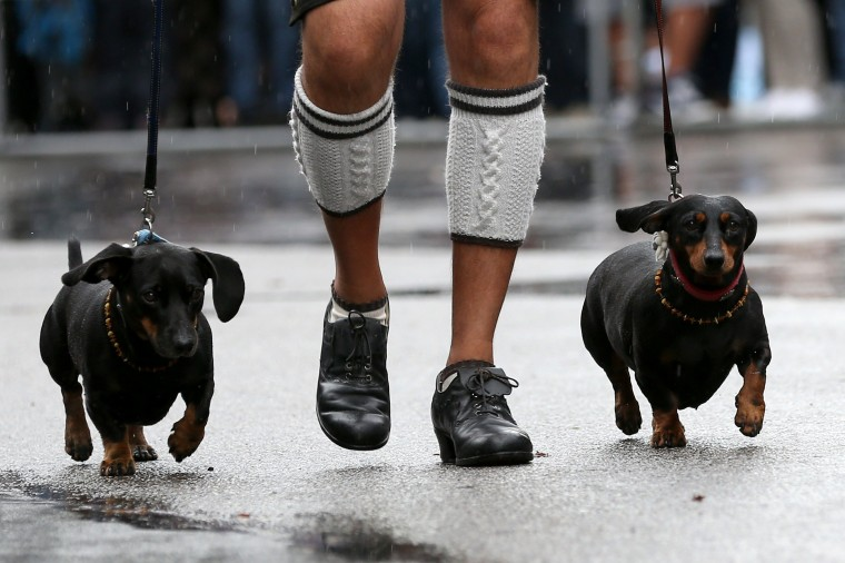 A man wearing traditional Bavarian costumes walks his dogs during the traditional Bavarian Oktoberfest festival in Munich, southern Germany. Germany's world-famous Oktoberfest kicks off with millions of revellers set to soak up the frothy atmosphere in a 16-day extravaganza of lederhosen, oompah music and, of course, beer.(Christian Charisius/AFP-Getty Images)