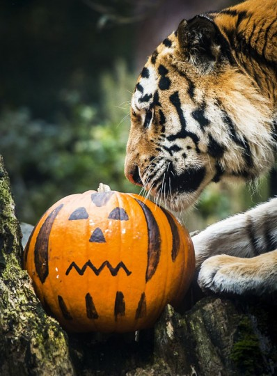 A Siberian tiger plays with a pumpkin at the Dierenpark Amersfoort zoo in Amersfoort, The Netherlands, on October 30 2014, one day before Halloween on October 31. (Remko De Waal/AFP/Getty Images)