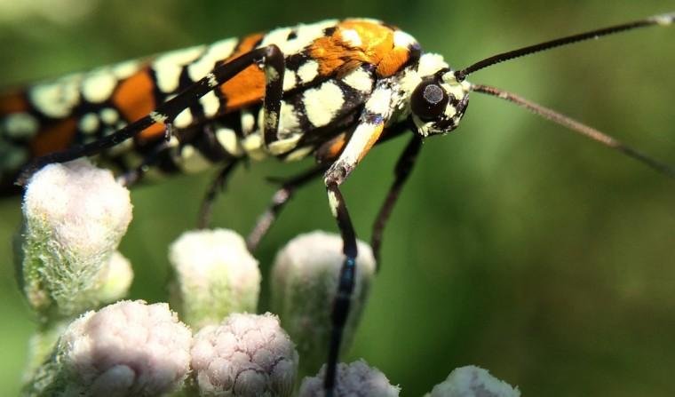 Ailanthus Webworm Moth - (Atteva punctella). (Jerry Jackson/Baltimore Sun)