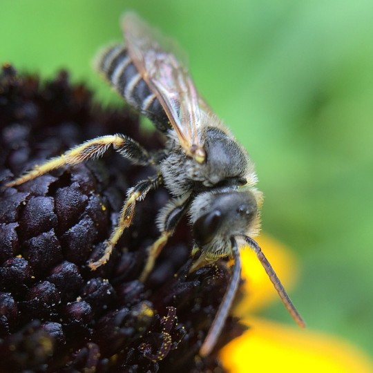 Sweat bee on black-eyed-susan. (Jerry Jackson/Baltimore Sun)