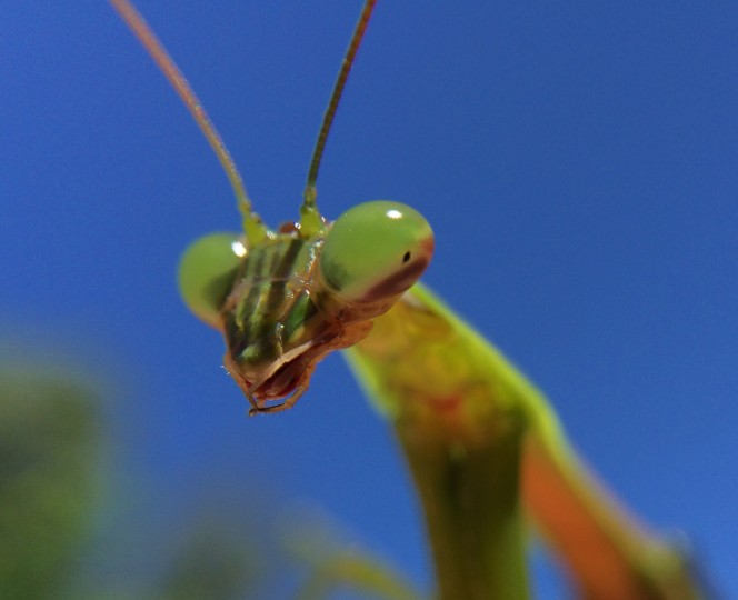 Praying Mantis. (Jerry Jackson/Baltimore Sun)