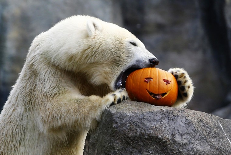 A polar bear eats a pumpkin during Halloween celebration in the Tiergarten Schoenbrunn zoo in Vienna October 31, 2014. Once a year the animals in the zoo are fed with pumpkins to celebrate Halloween. (Leonhard Foeger/Reuters)