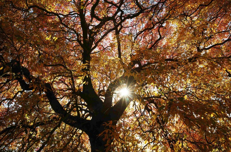 The sun shines through the leaves of a tree in autumn colour at Sheffield Park Garden near Haywards Heath in southern England October 20, 2014. (Luke MacGregor/Reuters)