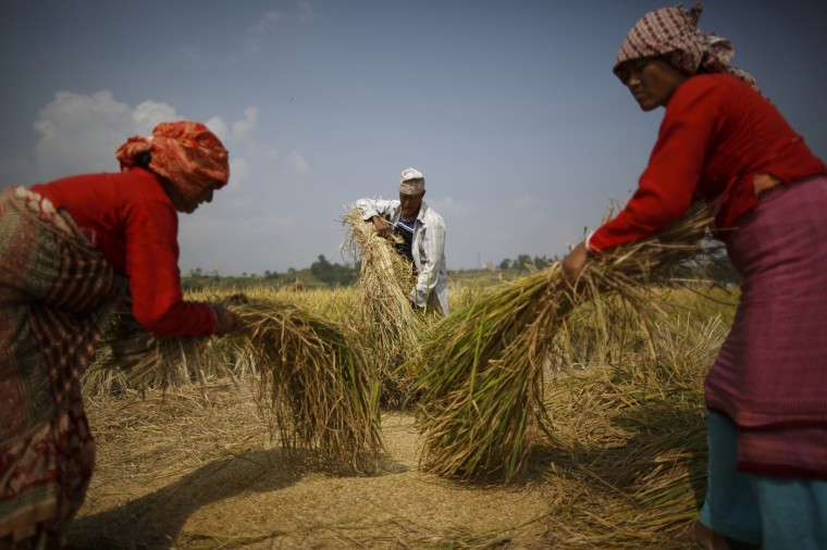 Farmers harvest rice on a field in Lalitpur October 30, 2014. REUTERS/Navesh Chitrakar