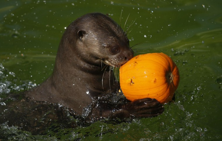 A giant otter holds a pumpkin during Halloween celebrations at Madrid Zoo October 31, 2014. (Andrea Comas/Reuters)