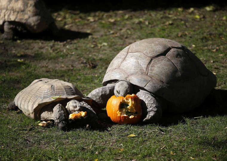 Tortoises eat their food from inside a pumpkin during Halloween celebrations at Madrid Zoo October 31, 2014. (Andrea Comas/Reuters)
