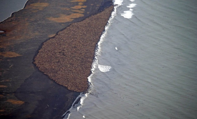An estimated 35,000 walruses are pictured are pictured hauled out on a beach near the village of Point Lay, Alaska, 700 miles northwest of Anchorage, in this September 2014 handout photo. According to scientists, the congregation of Pacific walruses -- one of the largest ever -- was prompted by a lack of sea ice which the walruses use to rest in Arctic waters, according to scientists. (Corey Accardo/NOAA/NMFS/AFSC/NMML/Handout via Reuters)