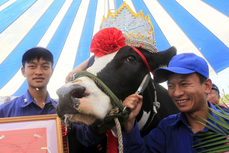 A winning cow is crowned during Miss Milk Cow annual beauty contest in Moc Chau plateau, 200 km northwest of Hanoi. (Kham/Reuters)