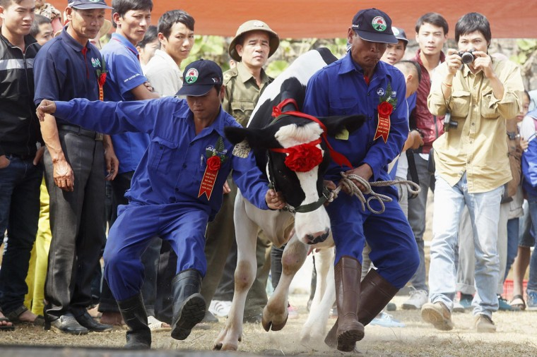 A cow is brought to be shown to the crowd during the Miss Milk Cow beauty contest in Moc Chau plateau, 200 km northwest of Hanoi. (Kham/Reuters)