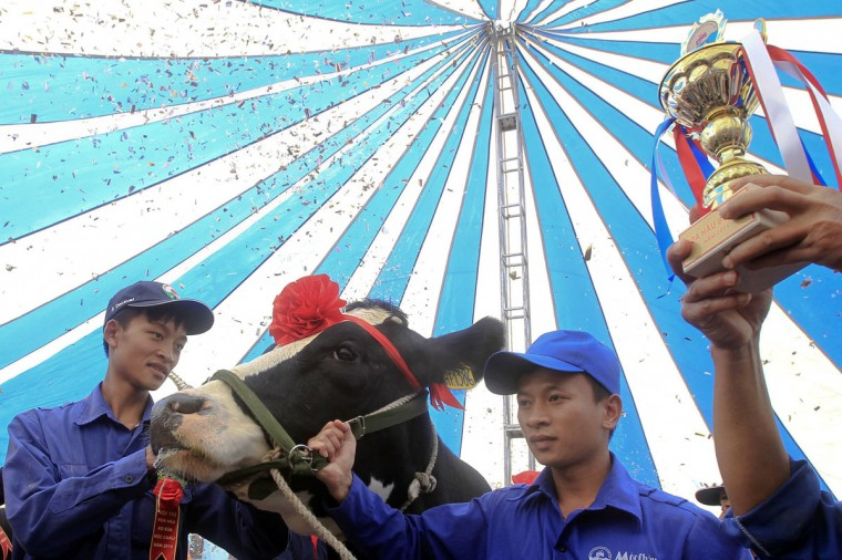 A farmer lifts the trophy next to the cow that was just crowned Miss Milk Cow 2014 during the annual milk cow beauty contest in Moc Chau plateau, 200 km northwest of Hanoi. (Kham/Reuters)