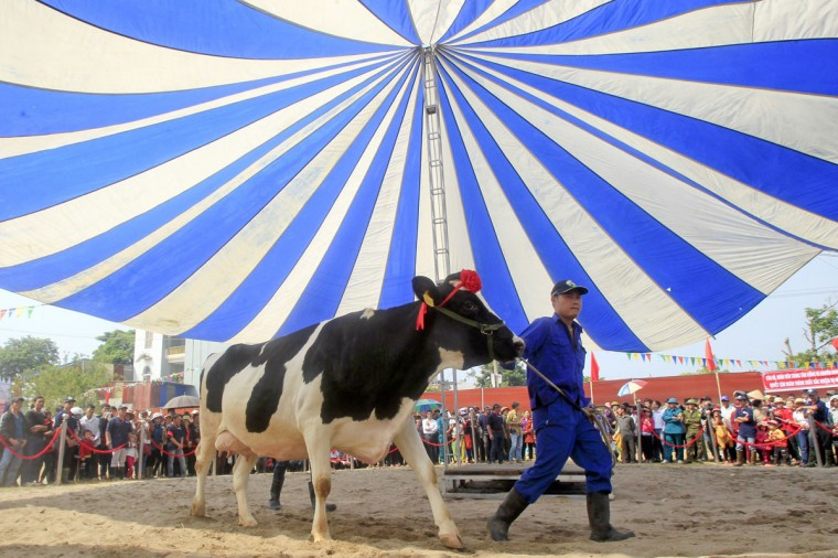 A cow is shown to the crowd during the Miss Milk Cow beauty contest in Moc Chau plateau, 200 km northwest of Hanoi. (Kham/Reuters)