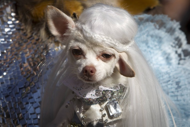 A dog poses for a photo dressed as Daenerys Targaryen from Game of Thrones during the 24th Annual Tompkins Square Halloween Dog Parade in New York. Hundreds of dog owners dress their dogs and compete for fun and prizes during the parade. (Carlo Allegri/Reuters)