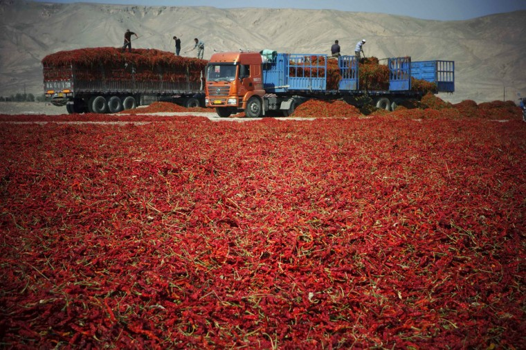 Farmers dry chillies in the Gobi desert in Turpan, Xinjiang Uighur Autonomous region, October 5, 2014. According to local media, Turpan's abundant sunshine and rainless weather in autumn make it a natural drying area for chillies. Every late autumn, large amount of chillies are transported from all over the region and dried along highways in Turpan. Picture taken October 5, 2014. (China Daily/Reuters)