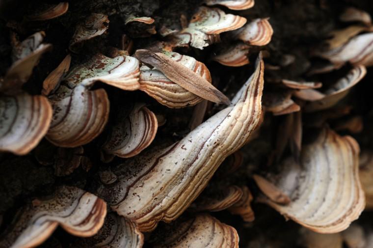 Wild mushrooms grow on a fallen tree in Herring Run Park forming an interesting geometric pattern.. (Kim Hairston/Baltimore Sun)