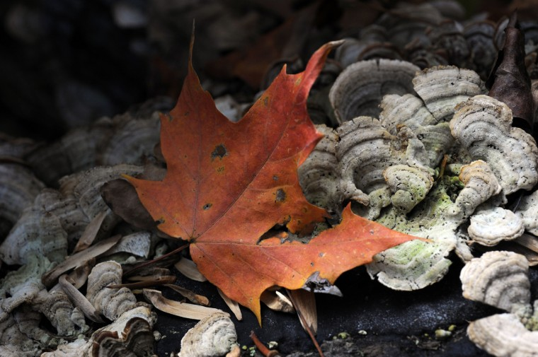 A colorful leaf rests on wild mushrooms in Herring Run Park. (Kim Hairston/Baltimore Sun)