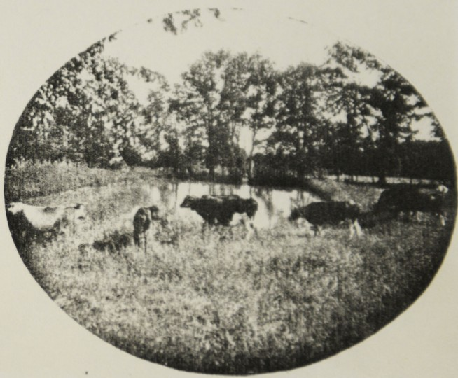 Cows at Mount de Sales, which was once a self-sufficient campus.