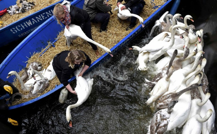 Swans are caught in a small lock after being rounded up from Hamburg's inner city lake Alster November 18, 2014. Every year the swans are collected from waterways around the northern German city of Hamburg and taken to winter quarters where they are fed and cared for until the spring. (Fabian Bimmer/Reuters)