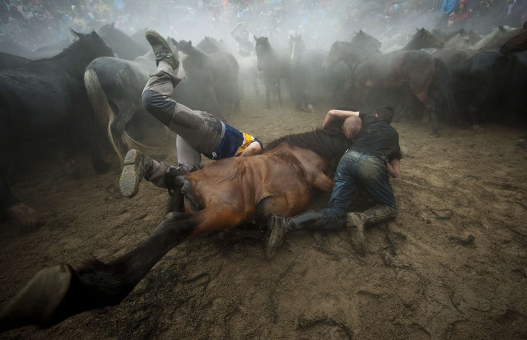 """Aloitadores"" (fighters) struggle with a wild horse during the ""Rapa Das Bestas"" (Shearing of the Beasts) traditional event in the Spanish northwestern village of Sabucedo, some 40 kms from Santiago de Compostela, on July 5, 2014. During the 400-year-old horse festival, hundreds of wild horses are rounded up from the mountains, trimmed and groomed. MIGUEL RIOPA/AFP/Getty Images"