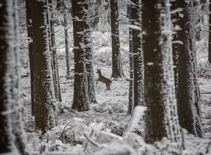 A deer runs away between trees of a snow-covered forest at the Grosser Feldberg mountain in the Taunus region, western Germany, on December 3, 2014. (Frank Rumpenhorst/AFP/Getty Images)