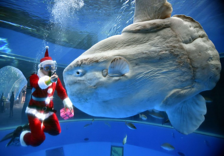 A diver wearing a Santa Claus costume feeds a sunfish to attract visitors at the Hakkeijima Sea Paradise aquarium in Yokohama, suburban Tokyo on December 17, 2014. Christmas attractions will be held till Christmas Day. Yoshikazu Tsuno/AFP/Getty Images