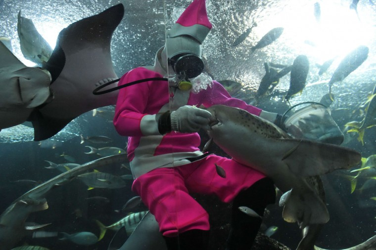 A diver dress in a pink Santa suit feeds fish at a celebration of the naming of a baby pink dolphin at Underwater World Singapore (UWS) on December 18, 2014. The first male baby pink dolphin was born at Underwater World Singapore (UWS) in Sentosa resort island on July 15 and has been named Splish. (Roslan Rahman/AFP/Getty Images)