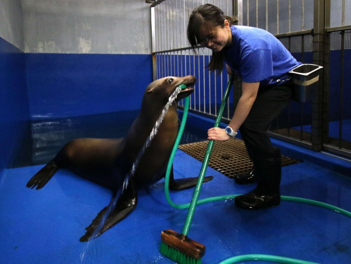 Female sea lion 'Sarasa' holds a hose with her mouse to help a trainer clean her room at the Shinagawa Aqua Stadium aquarium in Tokyo on December 30, 2014. The aquarium is carrying out year-end general cleaning of their facilities. (Yoshikazu Tsuno/AFP/Getty Images)