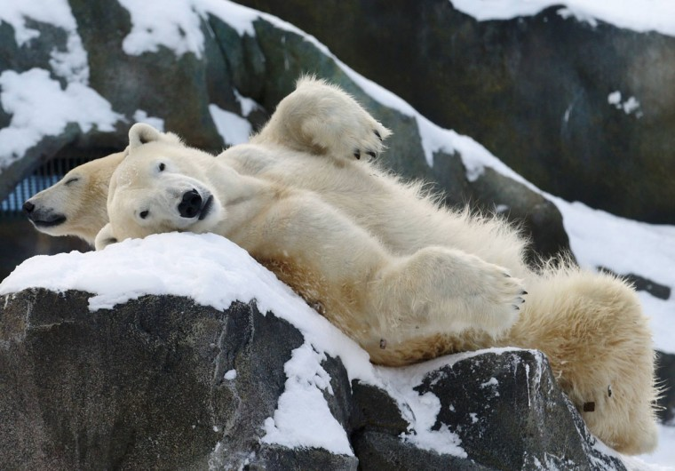 Two polar bears relax in the snow at Schoenbrunn zoo in Vienna December 30, 2014. (Heinz-Peter Bader/Reuters)