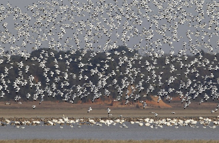 Pied avocets fly over the Boyang lake in Jiujiang, Jiangxi province December 21, 2014. Picture taken December 21, 2014. (REUTERS/Stringer)