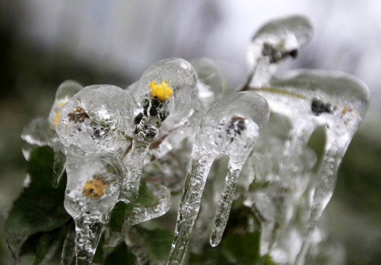 Flowers covered in ice in Buda hills in Budapest, December 3, 2014. Tens of thousand homes on the outskirts of Budapest went without electricity this week as freezing rain blanketed the area and falling trees cut power lines, Hungary's Disaster Relief Agency said. (Bernadett Szabo/Reuters)