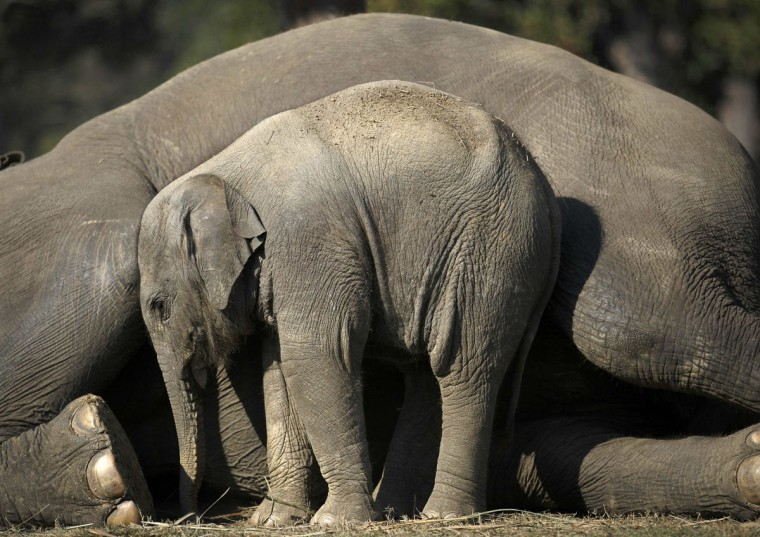 A one and a half months old baby elephant stands close to its mother as she lies down in Chitwan National Park in Chitwan, south of Kathmandu December 30, 2014. (Navesh Chitrakar/Reuters)