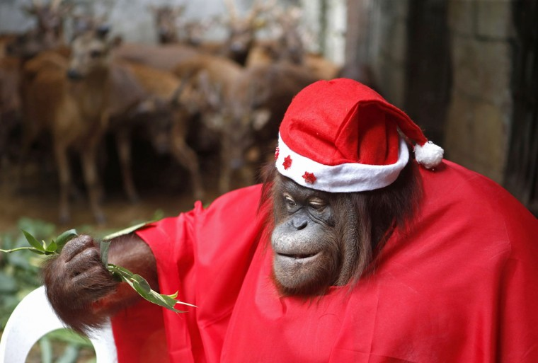 An orangutan dressed in a Santa Claus outfit takes part during the Animal Christmas party at Malabon Zoo in Manila December 18, 2014. (Erik De Castro/Reuters)