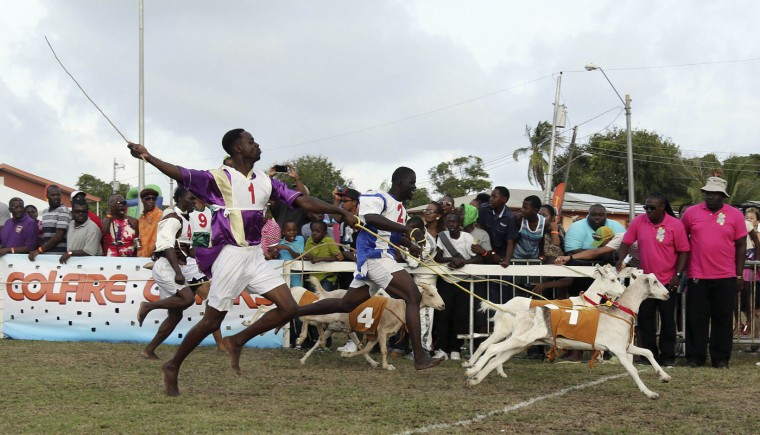 Jockey Samuel Cudjoe (1) runs his goat Bright Spark over the finish line to win the Class C2 Classic 100 metre race during the Carnbee/Mt Pleasant Community Council's 42nd annual sports meeting at the Mt Pleasant recreation ground, on Tobago island, in this April 21, 2014 file photo. REUTERS/Andrea De Silva/Files