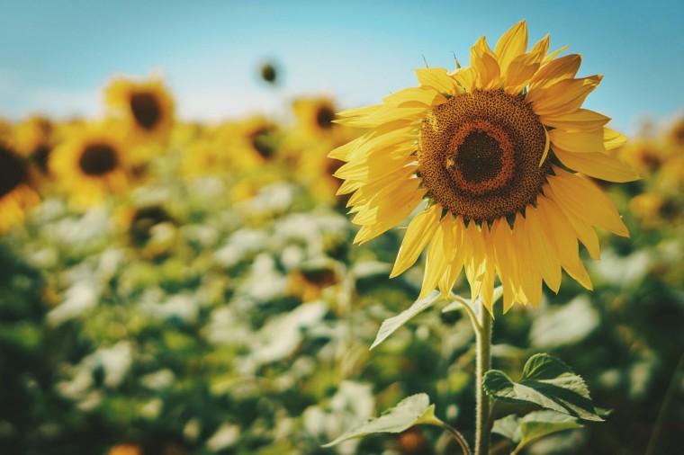 Sunflower Fields- Jarrettsville, MD