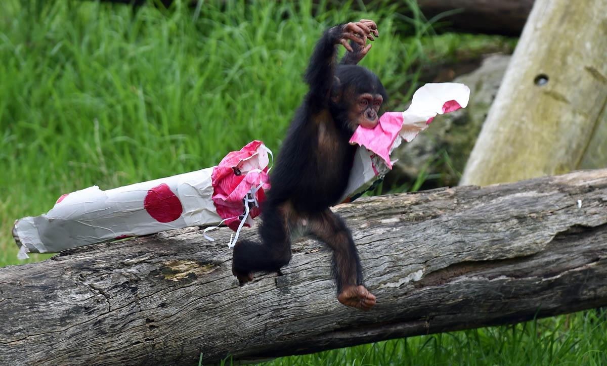 Chimpanzees enjoy early Christmas in Sydney, Australia