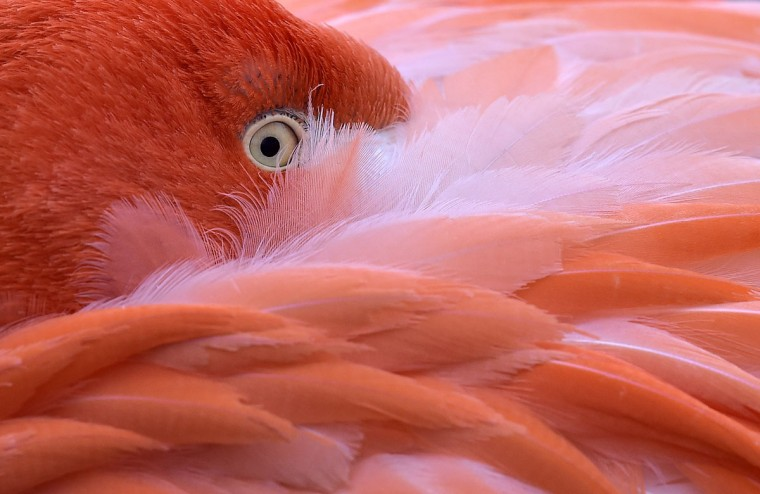 A flamingo hides its head in its feathers on a cold Friday, Jan. 23, 2015 at the zoo in Cologne, Germany. (AP Photo/Martin Meissner)