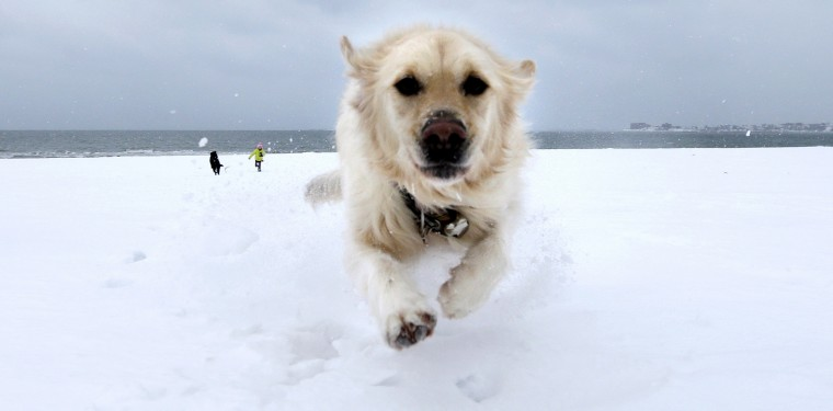 Crystal, a golden retriever, dashes through the snow as she gets away from Danielle Reid, who was walking dogs with her mom, at Revere Beach in Revere, Mass., Monday, Jan. 26, 2015. New England is bracing for a blockbuster blizzard threatening more than 2 feet of snow, hurricane-force winds, coastal flooding and widespread power outages. (AP Photo/Charles Krupa)