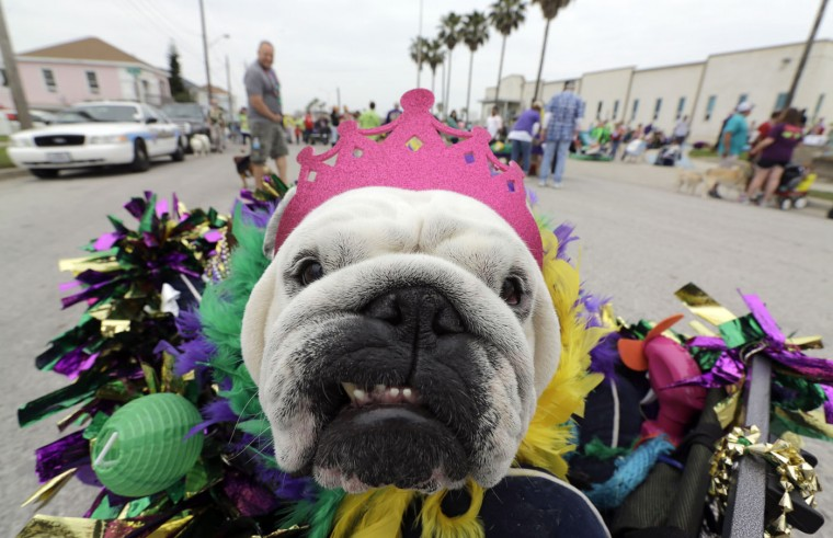 Mona sits in her cart as she waits for the start of the Krewe of Barkus and Meoux parade along the seawall in Galveston, Texas, Sunday, Feb. 15, 2015. The parade is sponsored by the Galveston Island Humane Society as a way to involve family pets in the spirit of Mardi Gras. (AP Photo/David J. Phillip)