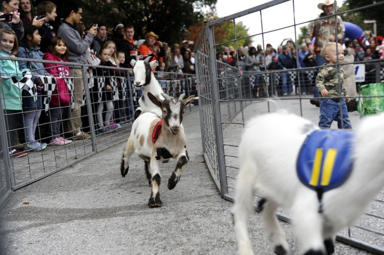 10/11/14: Pygmy goats with Hogway Speedway Racing Pigs run a race during a show at the 13th Annual Pigtown Festival. Kim Hairston/ Baltimore Sun