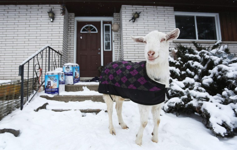 A goat named Lady stands at the front door of Lynne Rowe's home at the Constance Creek Wildlife Refuge in Dunrobin, Ontario on Sunday, Jan. 11, 2015. As a way to recycle Christmas trees, Lynne feeds them to her herd of 13 goats at the refuge. (AP Photo/The Canadian Press, Cole Burston)