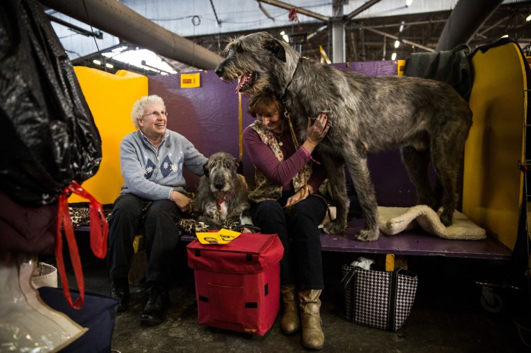 "An Irish Wolfhound named ""Tynan"" stands next to his owner, Donna Monahan, during the 138th annual Westminster Dog Show at the Piers 92/94 on February 10, 2014 in New York City. (Photo by Andrew Burton/Getty Images)"