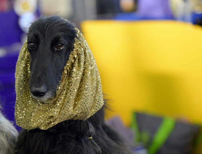 An Afghan Hound in the benching area at Pier 92 and 94 in New York City on the first day of competition at the 139th Annual Westminster Kennel Club Dog Show February 16, 2015. (Timothy Clary/AFP/Getty Images)